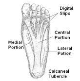 Planta Fascia Anatomy
