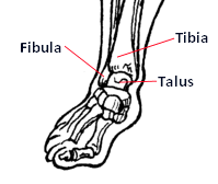 The ankle joint comprises of the tibia, fibula and talus bones