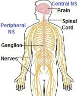Numb feet develop when there is a communication problem between the central and peripheral nervous system