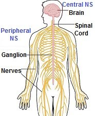 Diagram showing the central nervous system and peripheral nervous system