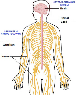 a description of the autonomic nervous system which is made up of two divisions The somatic and autonomic nervous the autonomic nervous system is the part of the peripheral nervous system that acts we'll deal with the first two.