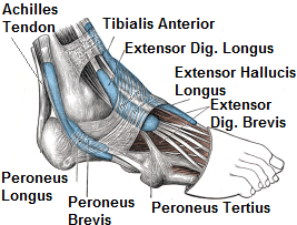Foot Tendon Diagram. Ankle tendonitis develops when there is inflammation in the tendons from overuse