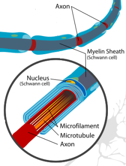 Diagram of a neuron.  In Charcot Marie Tooth disease, there can be problems with the myelin sheath or the axon affecting how nerve impulses transmit