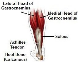 Calf Muscles: Gastrocnemius and Soleus join to form a common tendon, known as the tendocalcaneus or achilles tendon