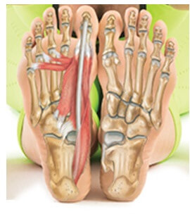 Foot And Ankle Anatomy Bones Muscles Ligaments Tendons