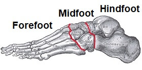 When thinking about foot and ankle anatomy, the foot is commonly divided into three sections: the forefoot, midfoot and hindfoot