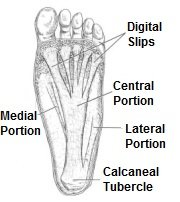 Anatomy of the plantar fascia. In plantar fibromatosis small nodules develop in the thickened plantar fascia