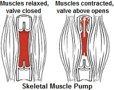 Soleus has an important role as a skeletal muscle pump, pumping venous blood back up to the heart