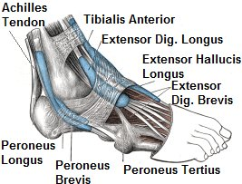 foot tendon diagram  ankle tendonitis develops when there is inflammation  in the tendons from overuse