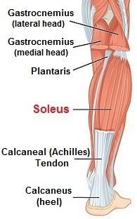 The calf muscles, highlighting Soleus