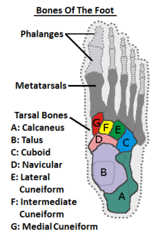 Diagram showing the mid foot bones viewed from above