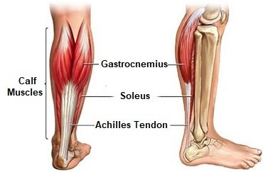Gastrocnemius: The largest and most superficial of the calf muscles