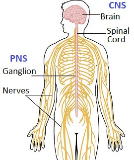 Charcot Marie Foot Disease is caused by a problem in the peripheral nervous system