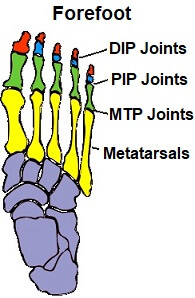 Foot bones showing metatarsal bones and phalanges