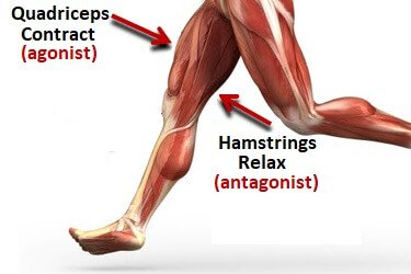 Image result for agonist and antagonist muscles in legs