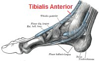 Inflammation in the Tibialis Anterior tendon causes pain on top of the foot